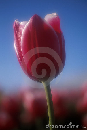 Free Beautiful Tulip Royalty Free Stock Photo - 1107805