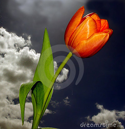 Beautiful Tulip Stock Photography - Image: 20742