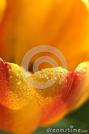 Free Beautiful Tulip Stock Photography - 2373002