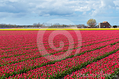 Beautiful tulip field and Dutch house