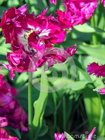 Free Beautiful Tulip Flower Purple Parrot Tulipa Royalty Free Stock Photography - 145475207