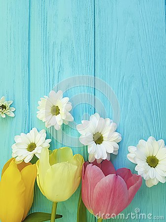 Beautiful tulips of chrysanthemum fresh celebration season background greeting mothers day , on a blue wooden background Stock Photo