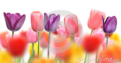 Beautiful tulips and color blurs created by selective focus on one row of flowers