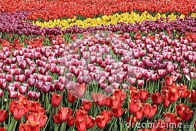 Beautiful tulips flowers field.