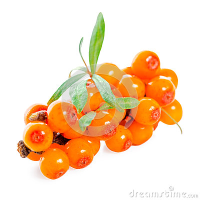 Beautiful twig of sea buckthorn berries is isolated on white bac Stock Photo