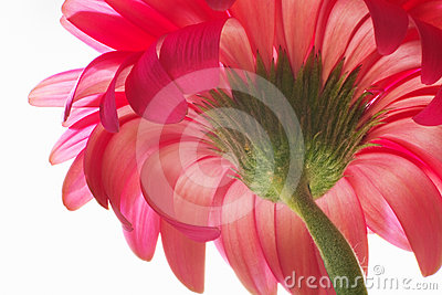 Beautiful unfolded Gerbera.