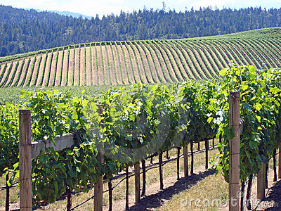 Beautiful Vineyard in Northern California