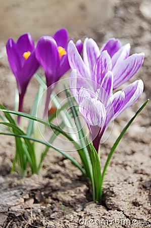 Beautiful violet crocus