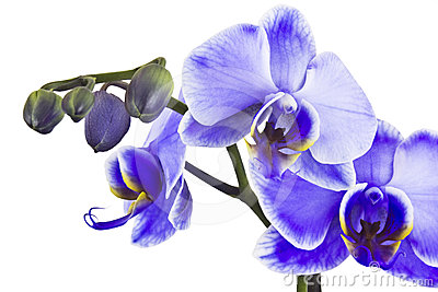 Beautiful violet orchid, phalaenopsis
