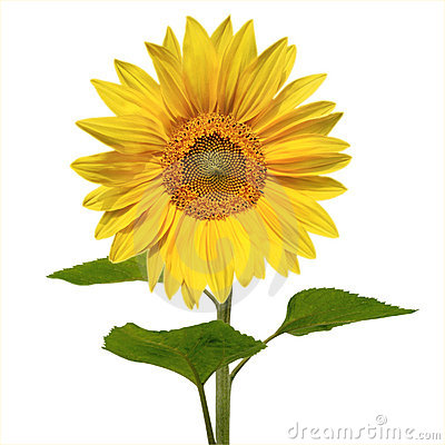 Beautiful vivid sunflower