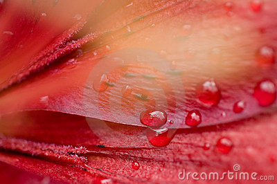 Beautiful water drop on red petals