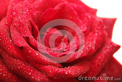 Beautiful wet red rose on white