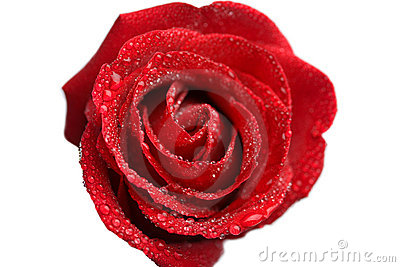 Beautiful wet rose isolated