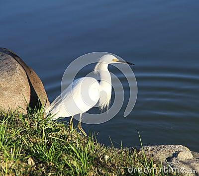 Beautiful white bird on the lake coast.