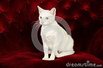 Beautiful White Cat Kitten posing on Red Velvet Couch