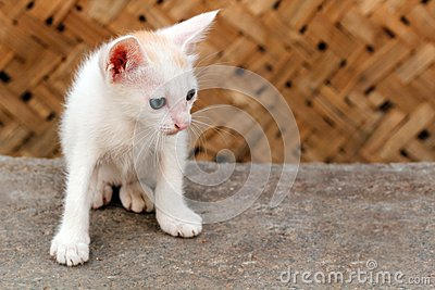 Beautiful white colored young kitten staring