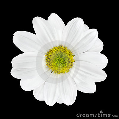 Beautiful White Dahlia Flower Head Isolated