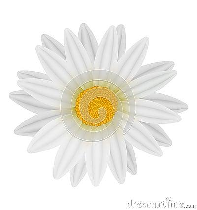 Beautiful white daisy.