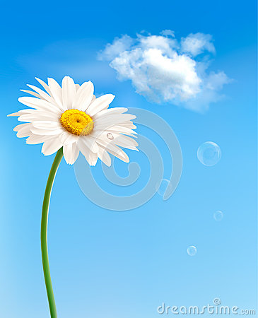 Beautiful white daisy in front of the blue sky.