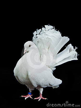Beautiful white decorative dove