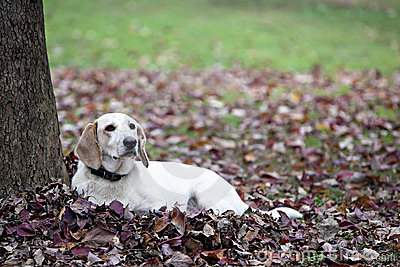 Beautiful white dog laying in Fall leaves