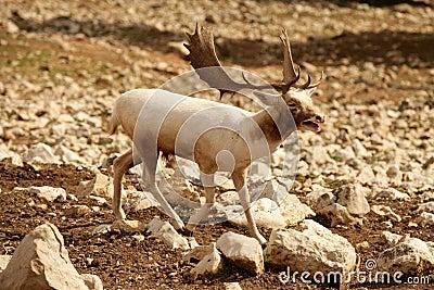 Beautiful white fallow deer
