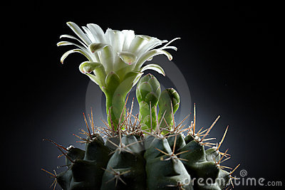 Beautiful white flower from cactus