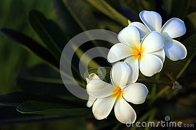 Beautiful white flower in thailand, Lan thom flowe
