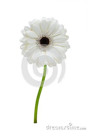 Free Beautiful White Gerbera Royalty Free Stock Photography - 4790177