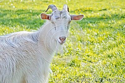 Beautiful white goat