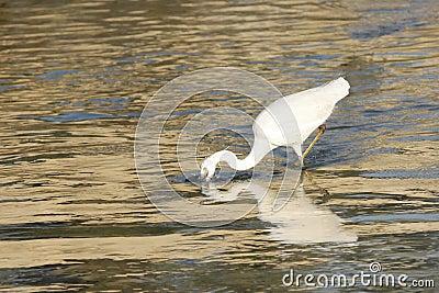 A beautiful white heron catching fish