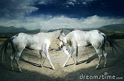 Beautiful white horses