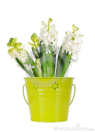 Beautiful white hyacinth flower, in a green bucket, isolated on w