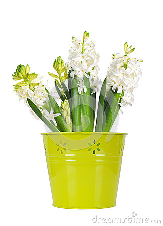 Beautiful white hyacinth flower in a green bucket, white background