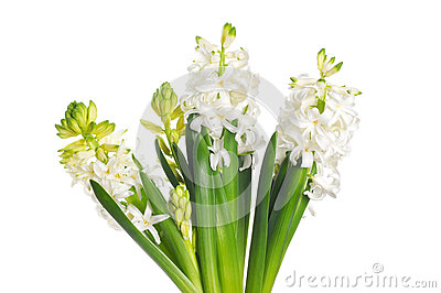 Beautiful white hyacinth flower, isolated on white background