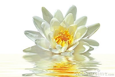 Beautiful white lotus flower in water