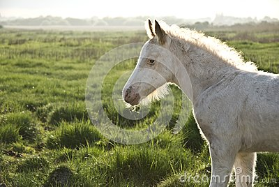Beautiful white newborn foal