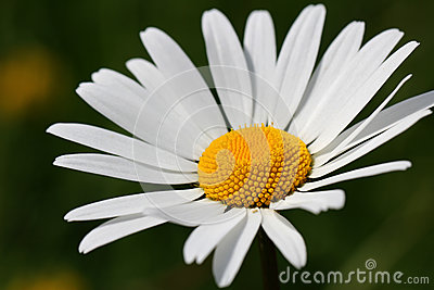 Beautiful White Oxeye Daisy