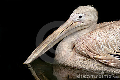 Beautiful white rosy Pelican