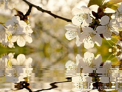 Beautiful white Spring tree flowers