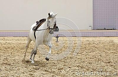 A beautiful white stallion playing