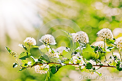 Beautiful white summer or spring flowers
