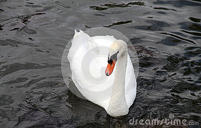 Beautiful white swan on water.