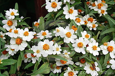 The beautiful white zinnias