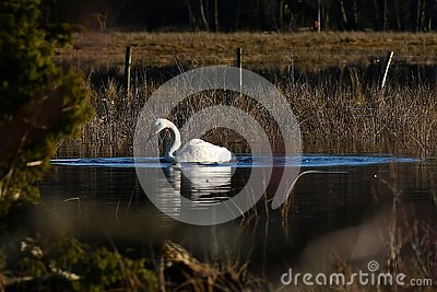 A beautiful whooper swan, Cygnus cygnus on a quiet place at a flooded river Stock Photo