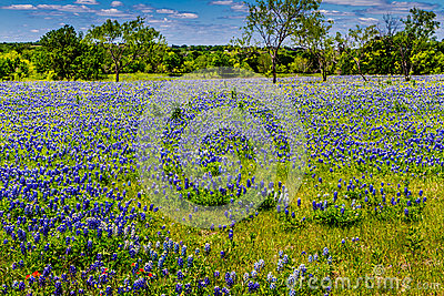 A Beautiful Wide Angle View of a Texas Field Blanketed with the Famous Texas Bluebonnets.