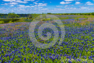 A Beautiful Wide Angle View of a Thick Blanket of Texas Bluebonnets in a Texas Country Meadow with Blue Skies.
