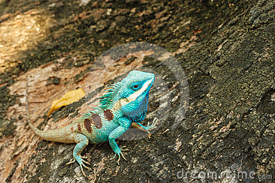 Beautiful Wild lizard