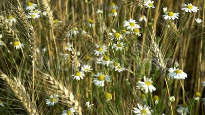 Beautiful wild white chamomile flowers swaying in the wind among the ears of wheat on a Sunny summer day. White chamomile flowers swaying in the wind among the stock video