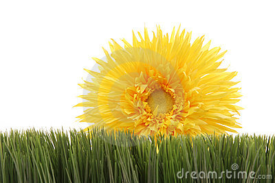 Beautiful yellow daisy on green grass isolated on white background